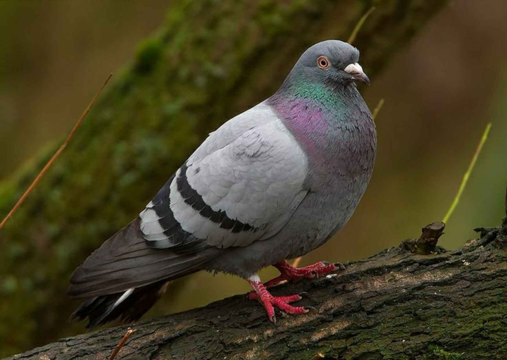 Information About Pigeon, Average Age of Pigeon, Colour of Pigeon