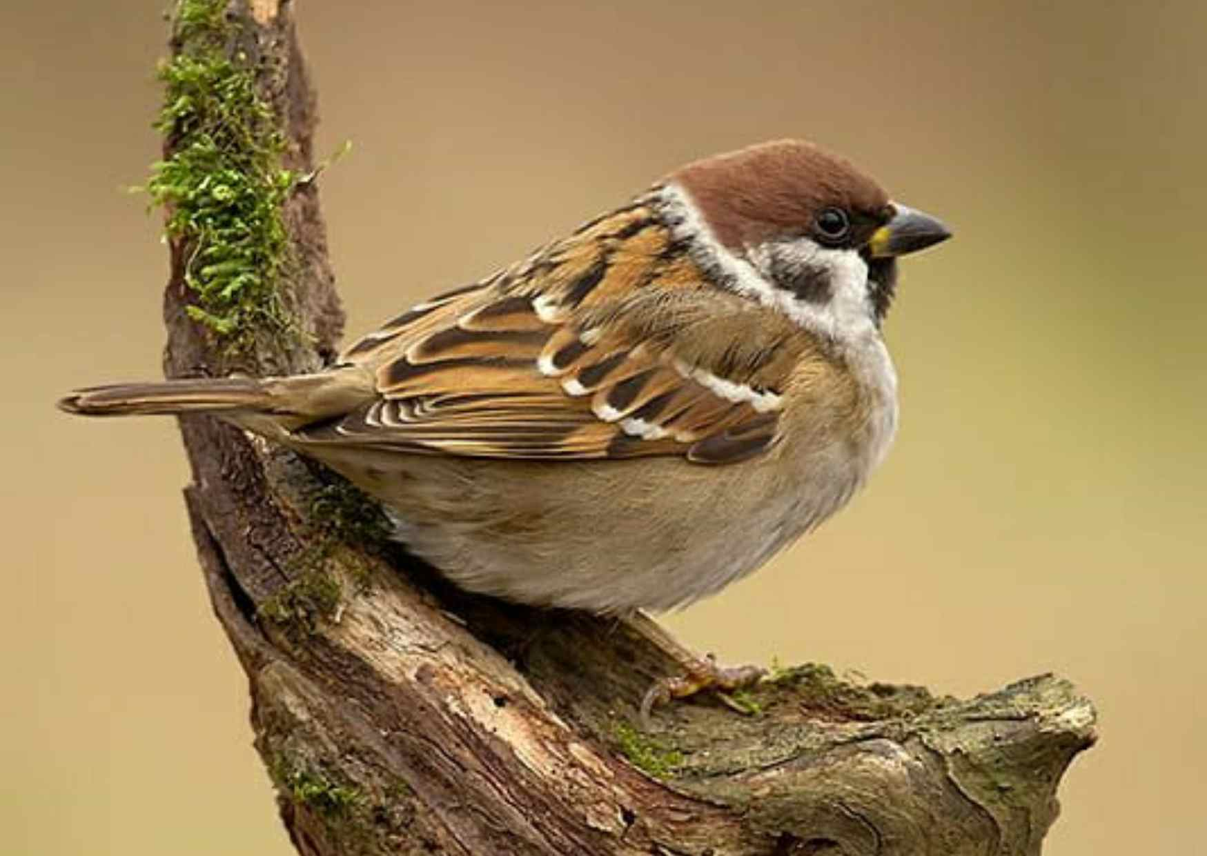 Sparrow in Hindi, Information About Sparrow in Hindi, Weight of Sparrow, Colour of Sparrow, Specise of Sparrow