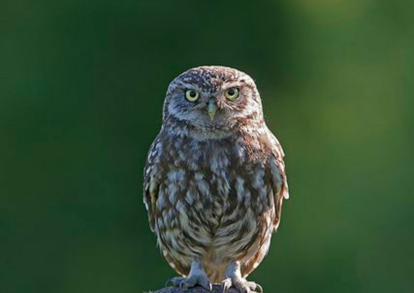 Owl in Hindi, Information of Owal in Hindi, Colour of Owl