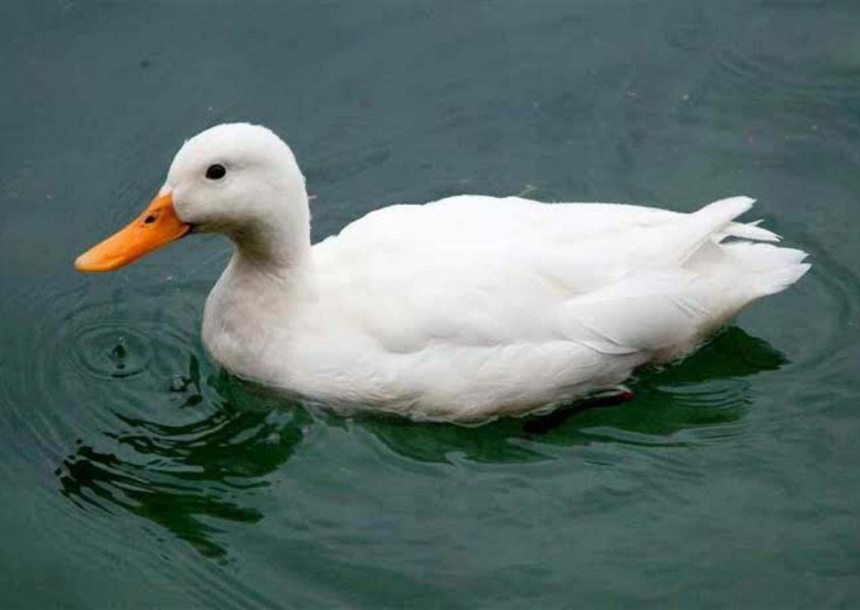 Information of Duck in Hindi, Duck in Hindi, Colour of Duck,