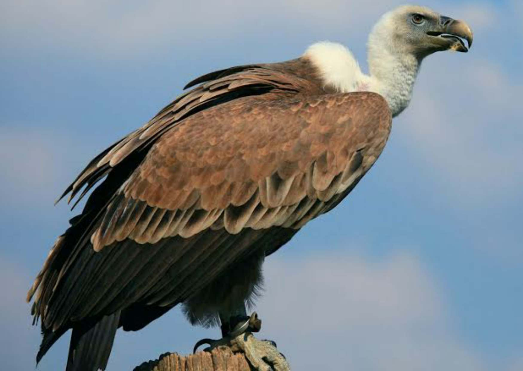 Vulture in Hindi, Information of Vulture in Hindi,