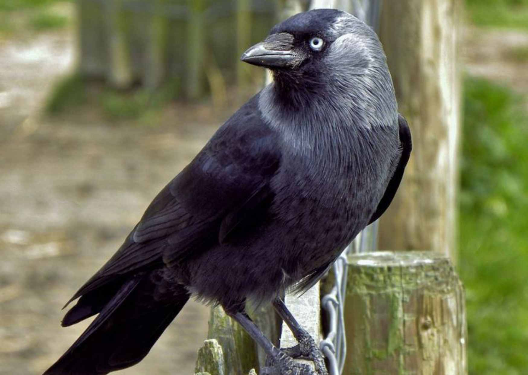 Crow in Hindi, Information About Crow in Hindi, Specise of Crow, Food of Crow