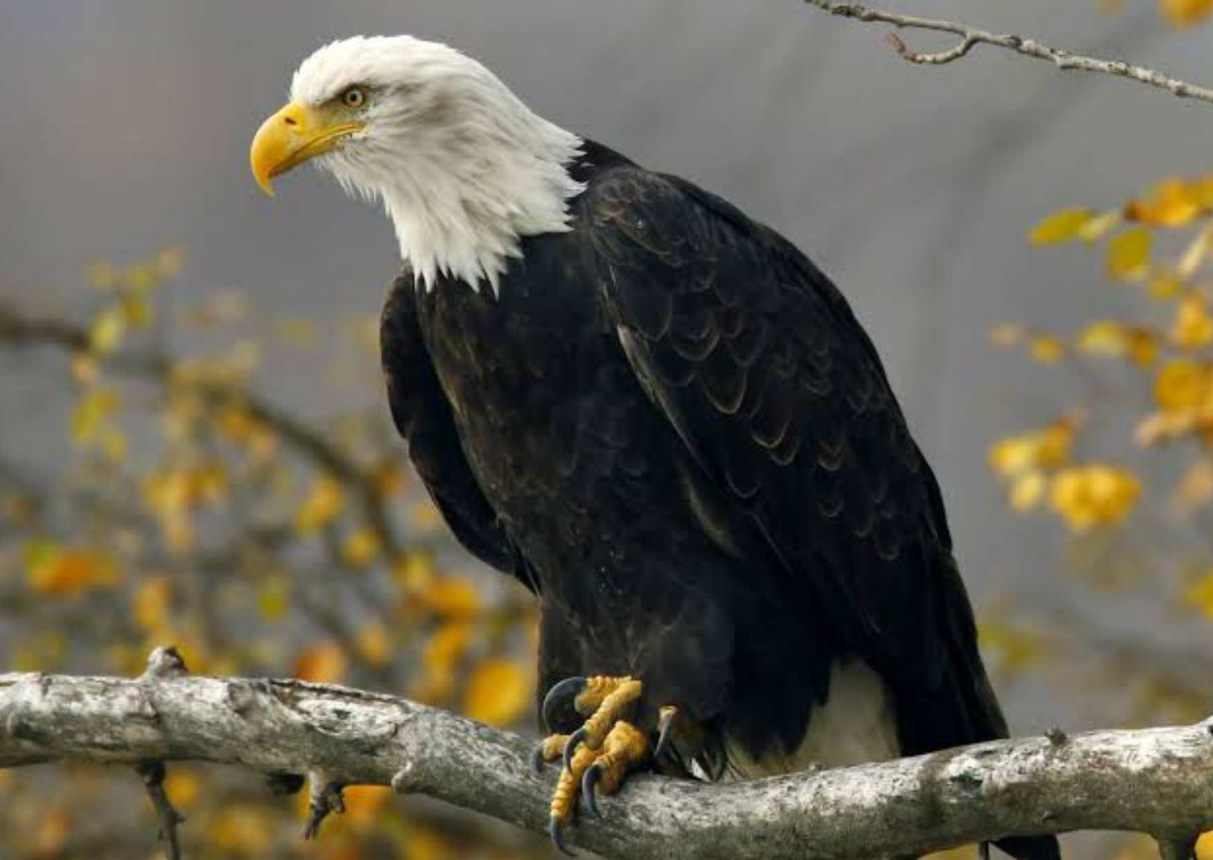 Eagle in Hindi, Information About Eagle in Hindi, Colour of Eagle,
